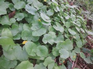 Scharbockskraut Blätter Kräuterwanderung Wien