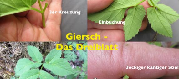Giersch: Essbares Heilkraut
