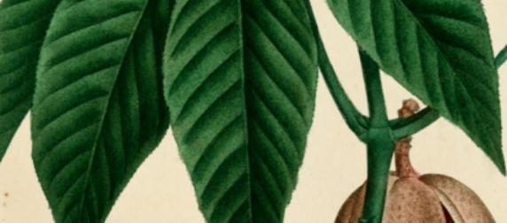 Rosskastanie-Jahrestinktur: Die Knospen